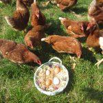 foto 1. le galline ovaiole
